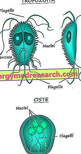 giardia parazita macska hpv wart for years