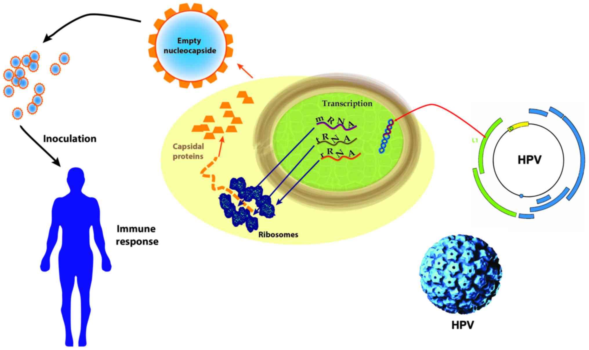 human papillomavirus mk