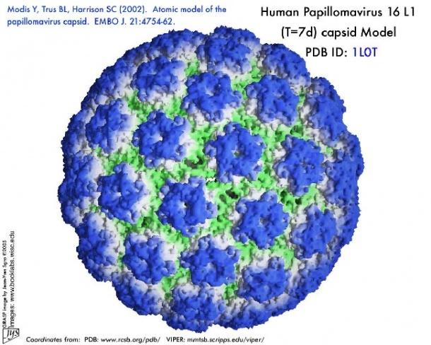 papiloma humano en el recto human papillomavirus 16-positive