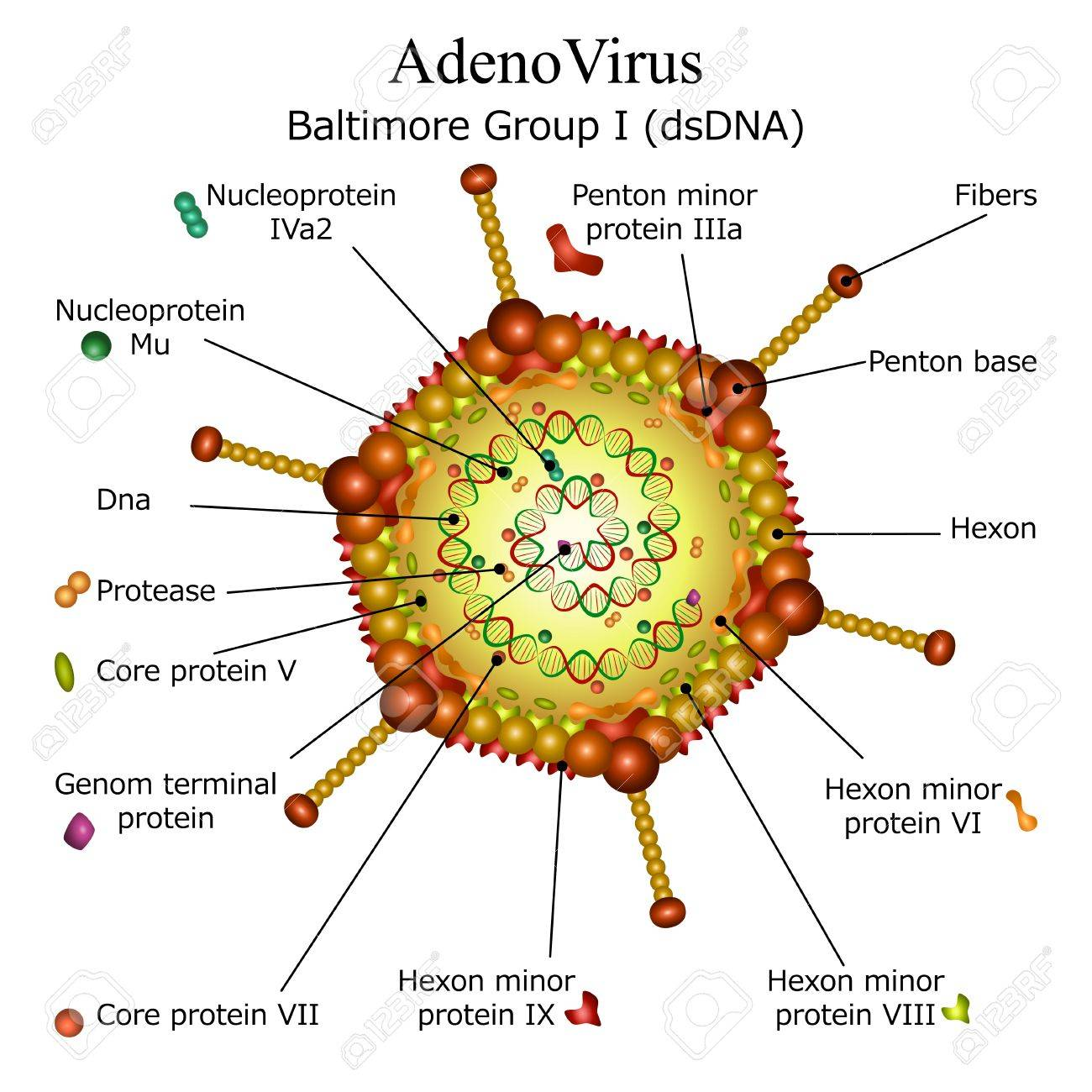 virusi adeno hpv from finger