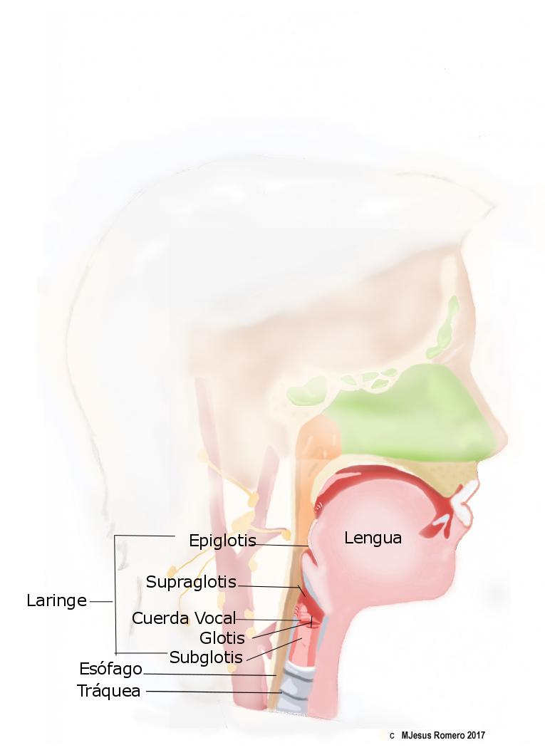 cancer laringe probabilidad vida ghimbirul si cancerul de san
