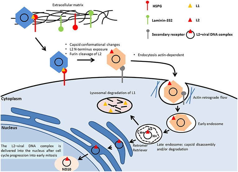 establishment of human papillomavirus infection requires cell cycle progression