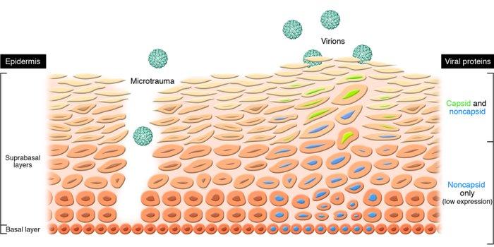 life cycle of human papillomavirus dezintoxicarea magia vindecarii carte