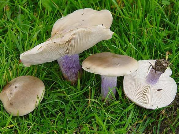 Ciuperca de toamnă pe un picior gros. Ciupercă violet