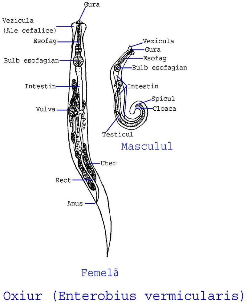 oxiuros hembra y macho