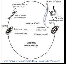 enterobius vermicularis larvae morphology