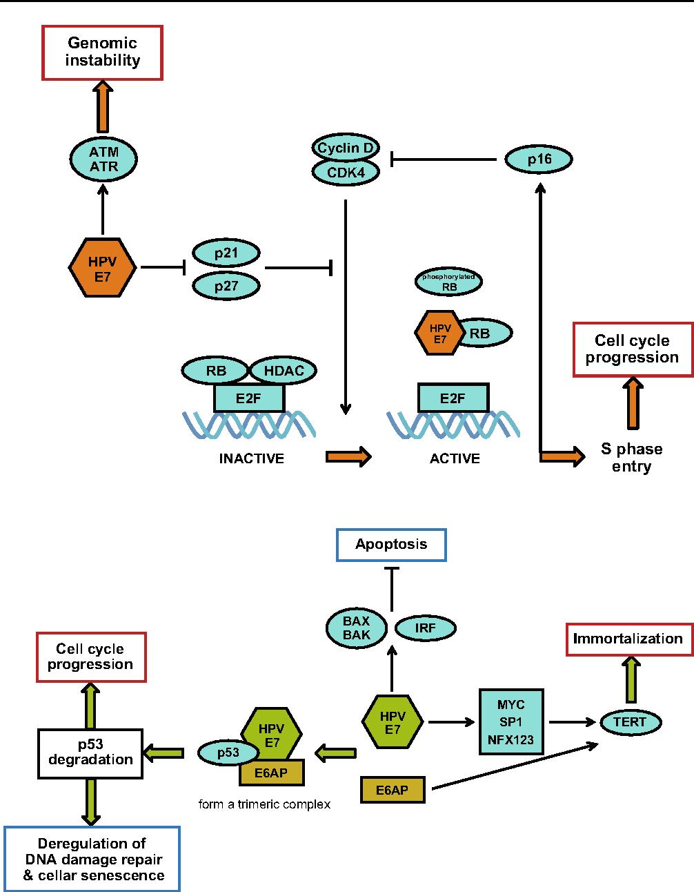 hpv virus cancer mechanism krev ve stolici parazit