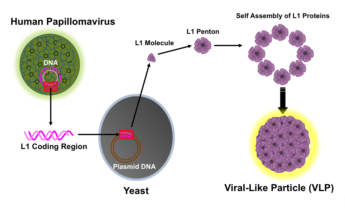 hpv virus or bacteria hpv high risk a