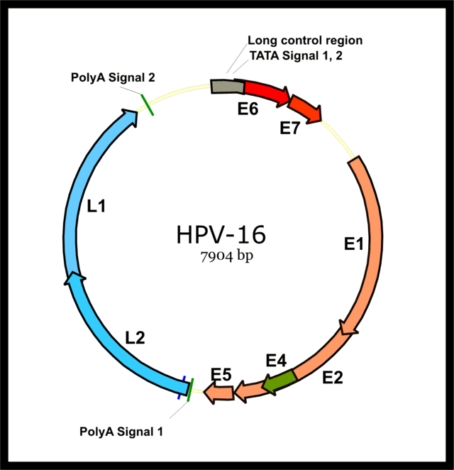 papillomavirus n 16 sarcoma cancer of the uterus