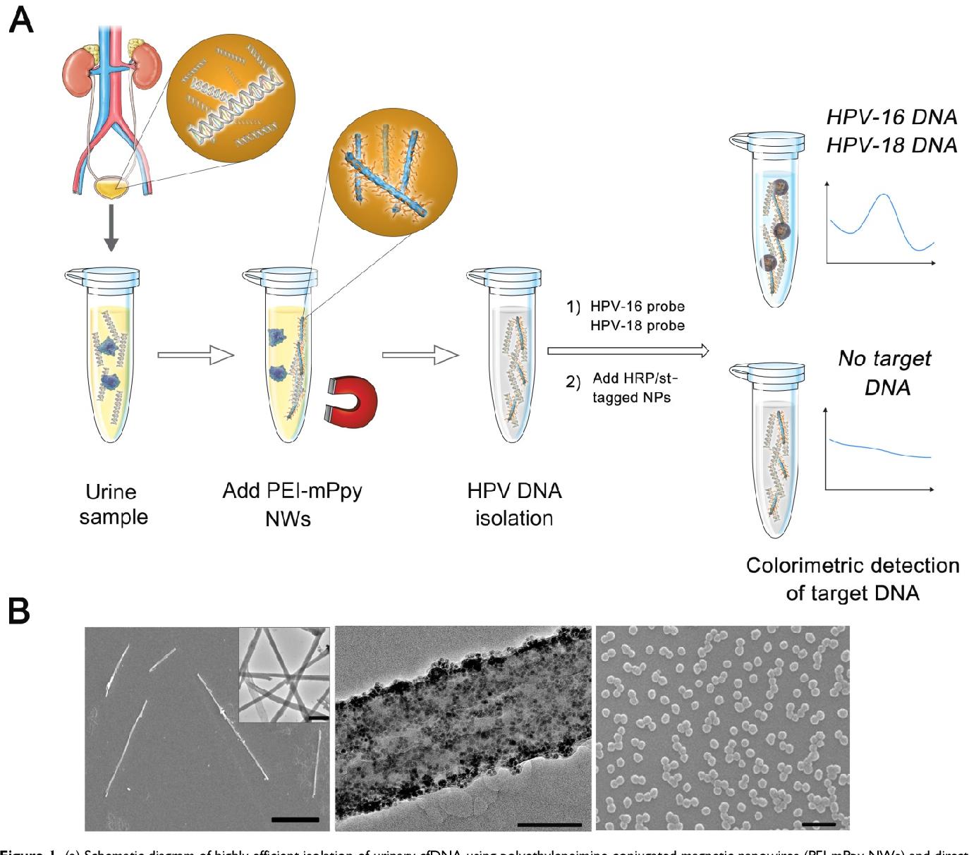 papillomavirus sang urine cancer ovarian prevention