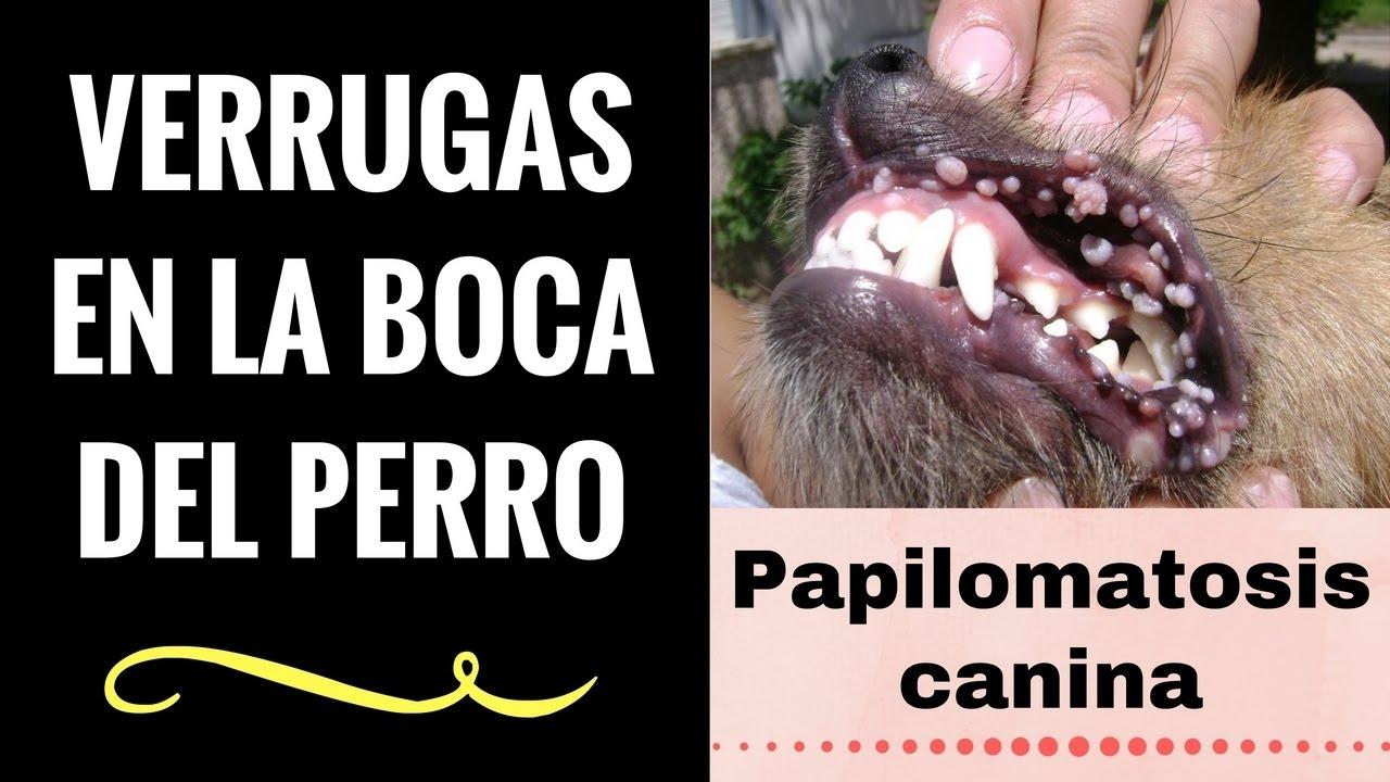 papiloma en boca de perro